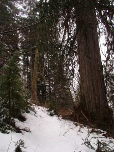 Big honkin' Cedar