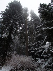 Snow in the big trees
